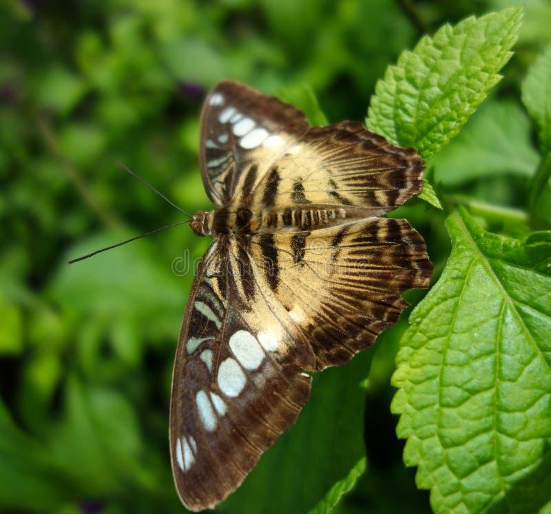 布朗蝴蝶或飞蛾在绿色叶子和软的背景 免版税图库摄影