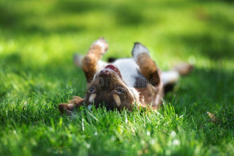 布朗说谎奇瓦瓦狗的小狗颠倒 免版税库存照片