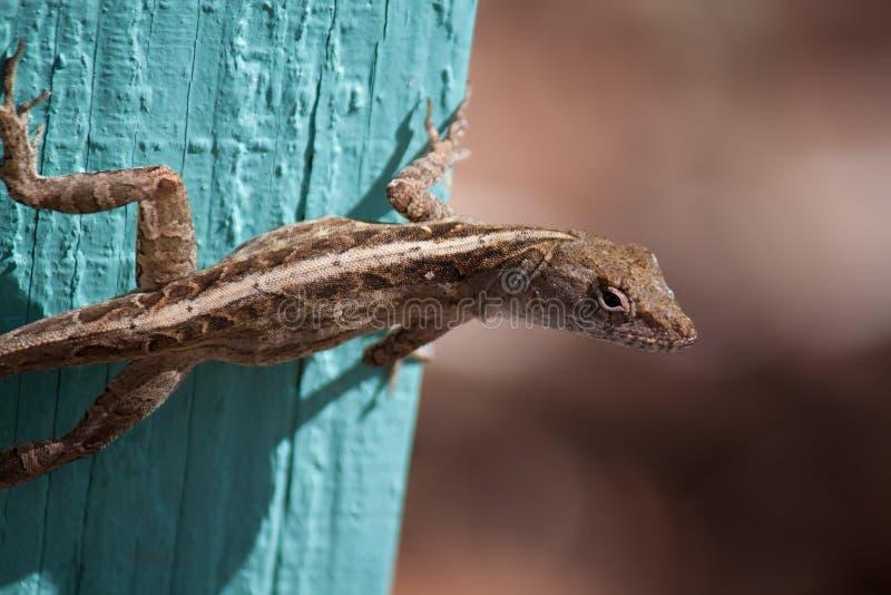 布朗Anole蜥蜴 库存照片