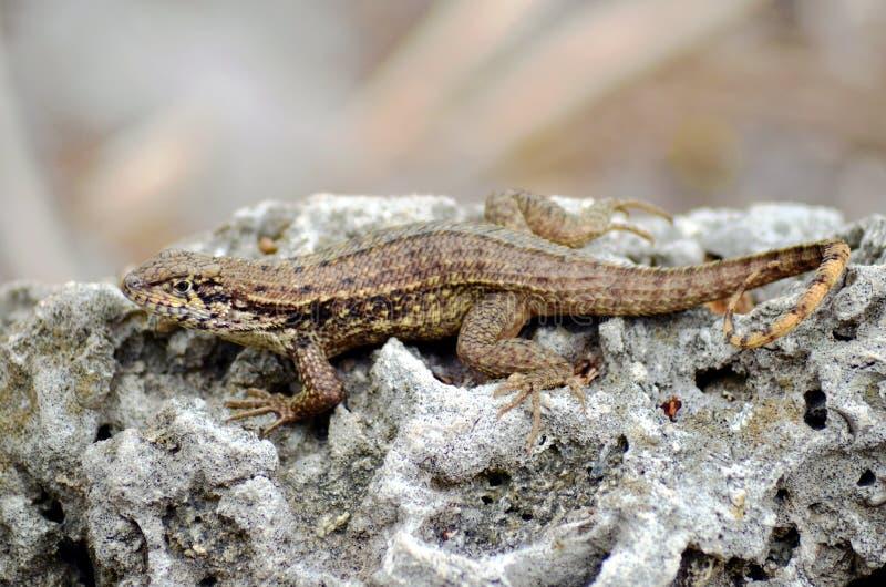 布朗Anole Anolis在岩石的sagrei蜥蜴 免版税库存照片