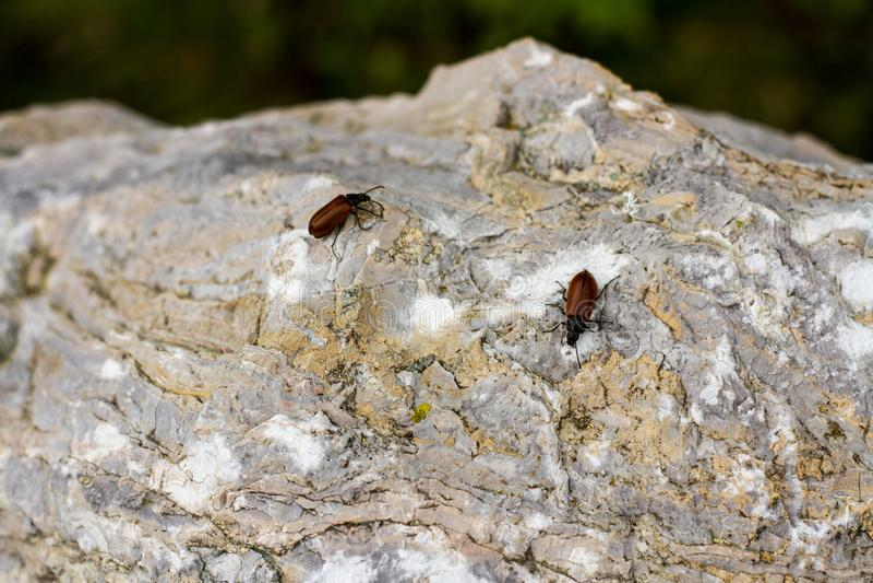 布朗Beatles,在叶子和岩石的小的昆虫 库存图片