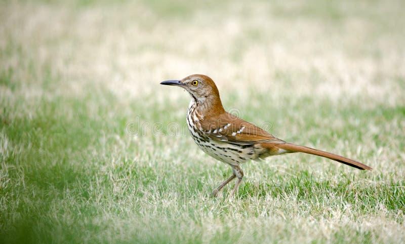 布朗Thrasher鸟,雅典,克拉克县,乔治亚美国 免版税库存图片