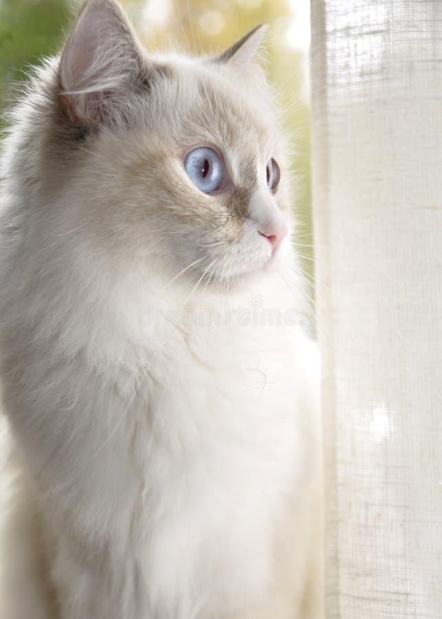 布洋娃娃猫 免版税库存图片