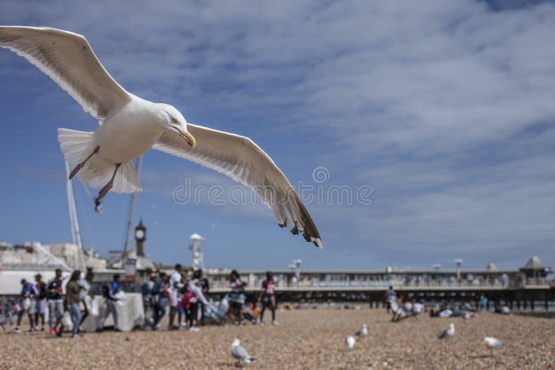 布赖顿,海滩,海鸥 免版税库存照片