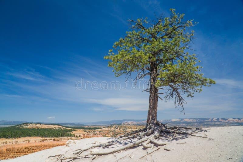 布里切在公园上的峡谷树 库存照片