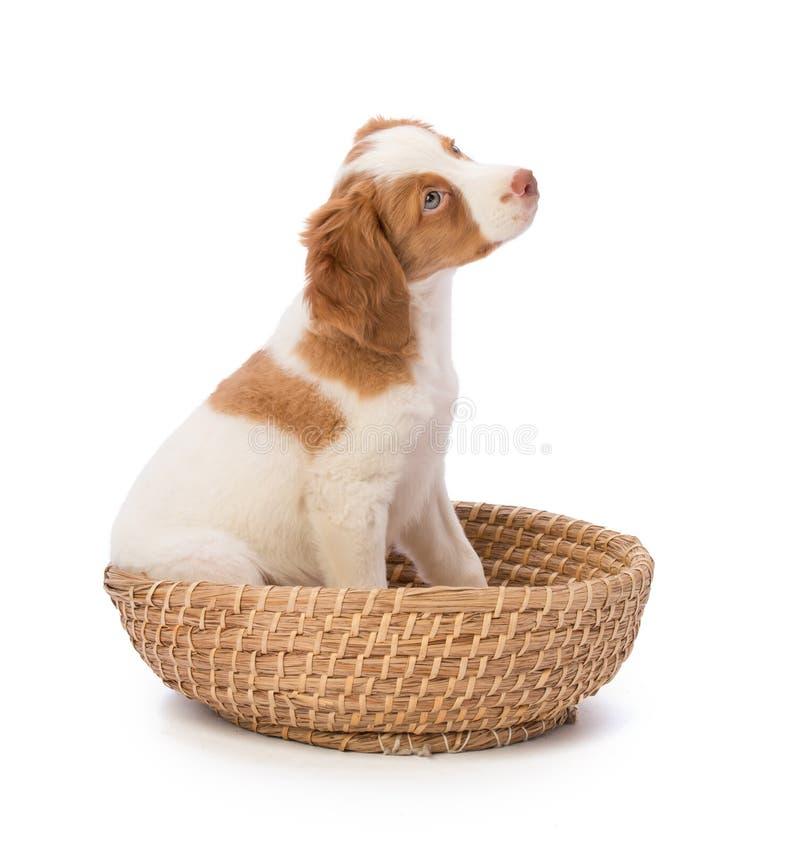 布里坦尼在篮子的西班牙猎狗设置 库存照片