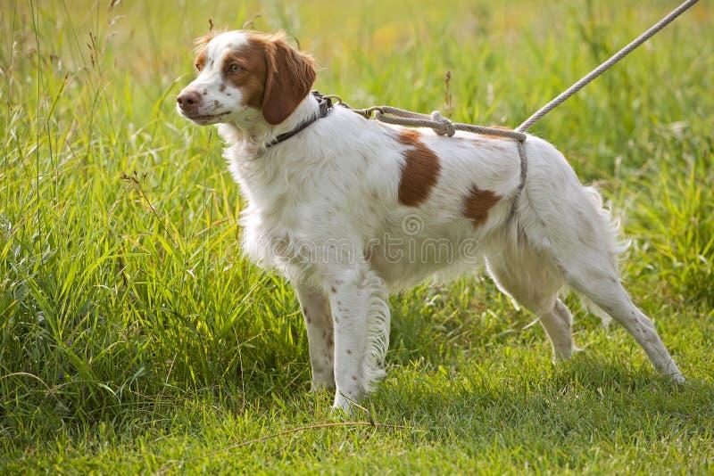 布里坦尼域西班牙猎狗 免版税库存图片