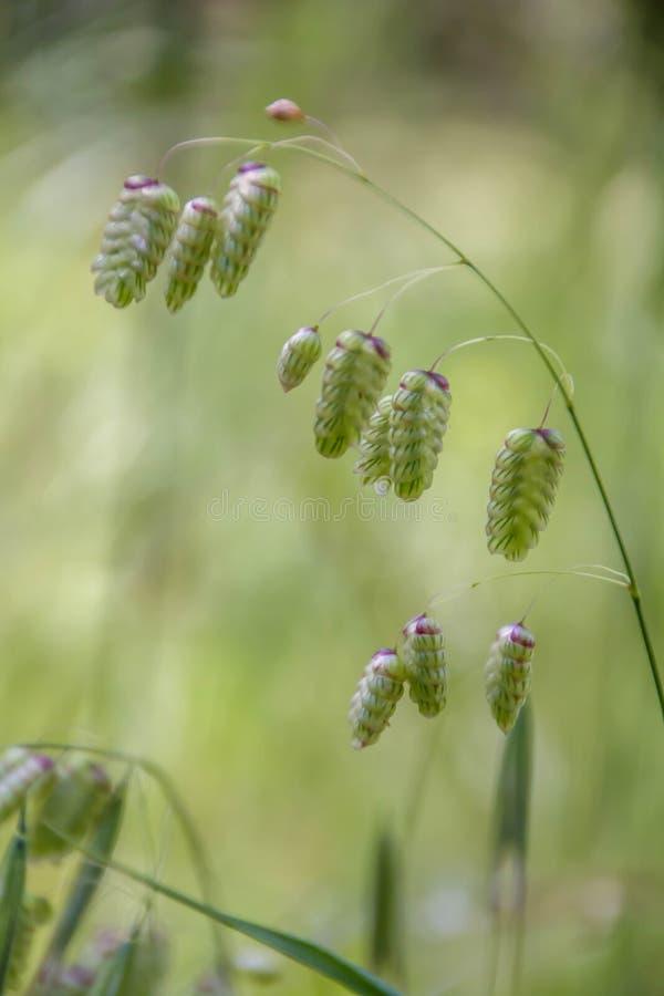 布里扎最大值,亦称大颤抖或大凌风草属,丽蝇或响尾蛇草,多壳,吵闹声或壳草 图库摄影