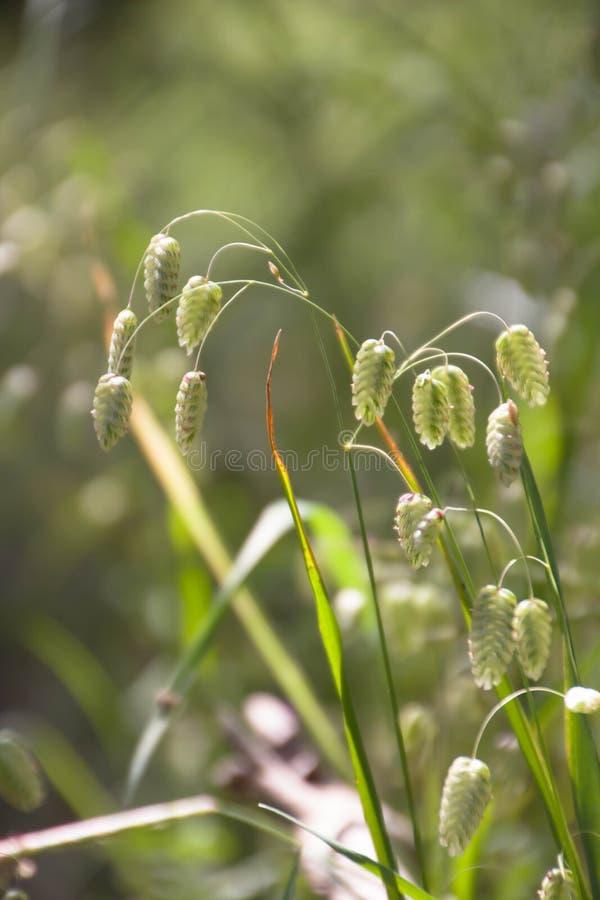 布里扎最大值,亦称大颤抖或大凌风草属,丽蝇或响尾蛇草,多壳,吵闹声或壳草 库存照片
