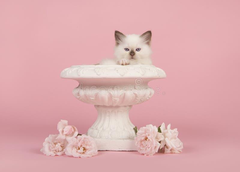 布洋娃娃与蓝眼睛的小猫在有真正的白玫瑰的一个白花罐在桃红色背景 免版税图库摄影