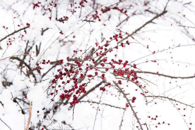 布什用在雪下的红色莓果 免版税库存图片