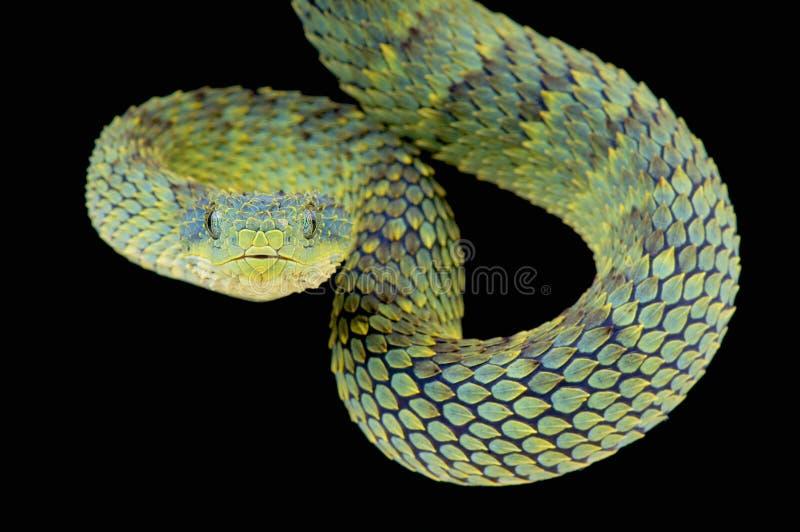 布什蛇蝎/Atheris squamigera 免版税图库摄影