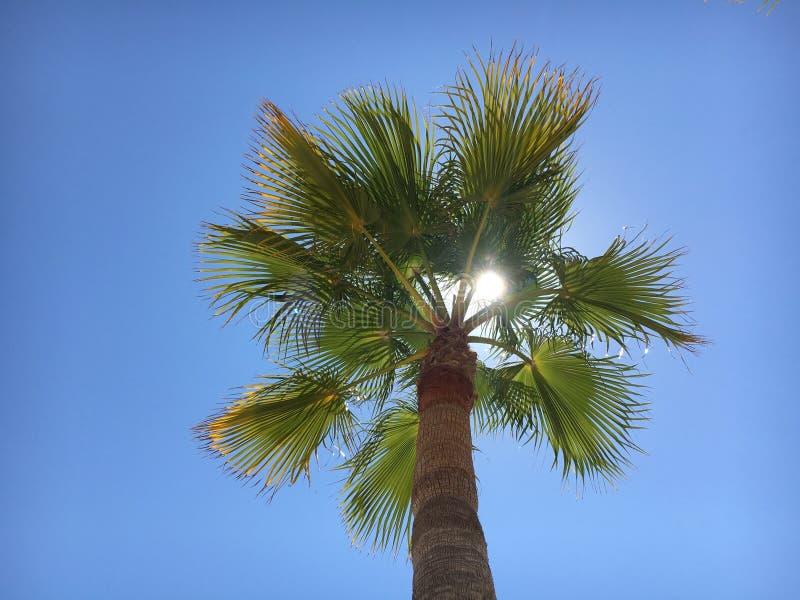 帕尔马诺瓦棕榈树 免版税图库摄影