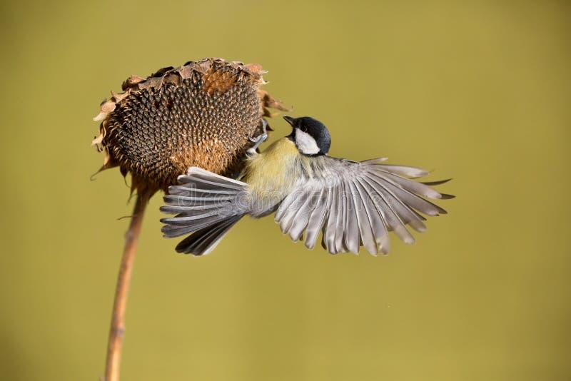 帕鲁斯蓝冠山雀少校, 一只小鸟坐向日葵植物并且哺养向日葵种子 免版税库存图片