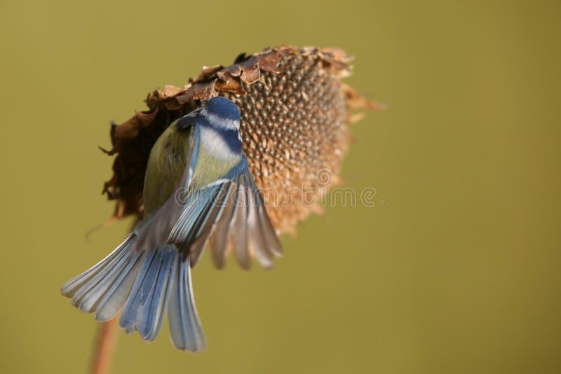 帕鲁斯蓝冠山雀少校, 一只小鸟坐向日葵植物并且哺养向日葵种子 库存图片