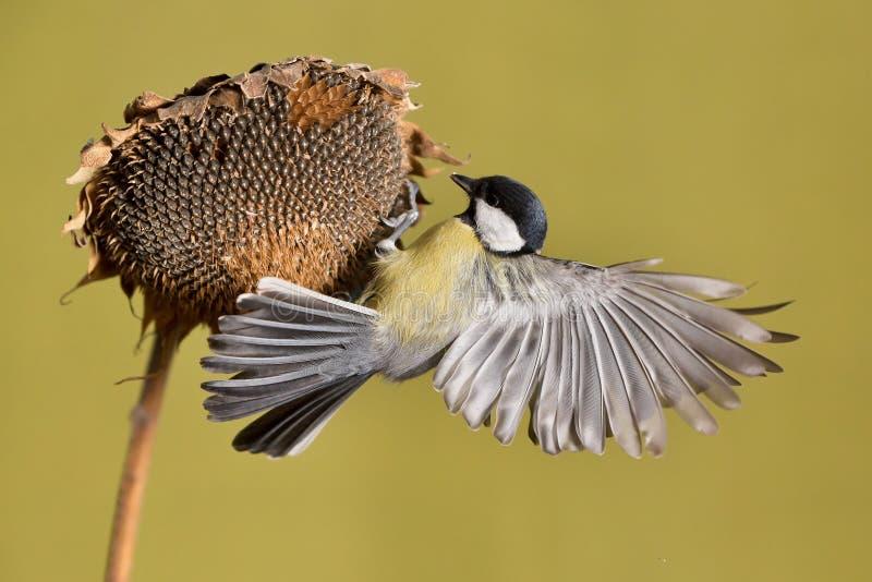 帕鲁斯蓝冠山雀少校, 一只小鸟坐向日葵植物并且哺养向日葵种子 免版税库存照片