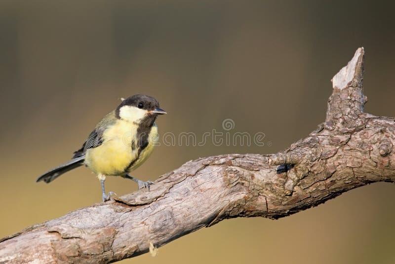 帕鲁斯蓝冠山雀少校, 野生生物风景 图库摄影