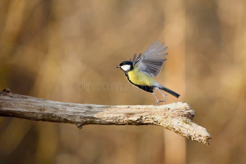 帕鲁斯蓝冠山雀少校, 野生生物风景 免版税库存图片