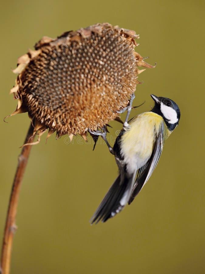 帕鲁斯蓝冠山雀少校, 野生生物风景 免版税库存照片