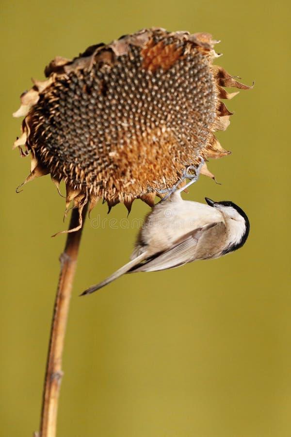帕鲁斯蓝冠山雀少校, 野生生物风景 库存照片