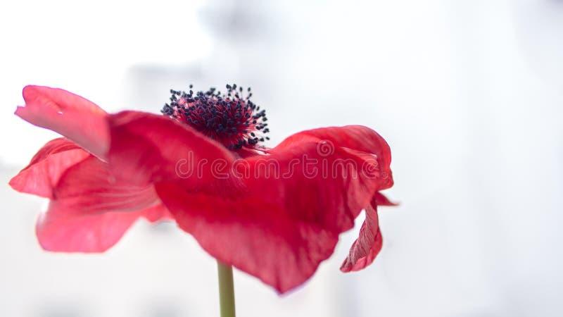带淡红色的红色花 免版税库存照片