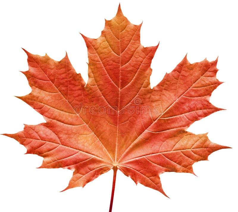 带红色叶子的槭树 免版税库存照片