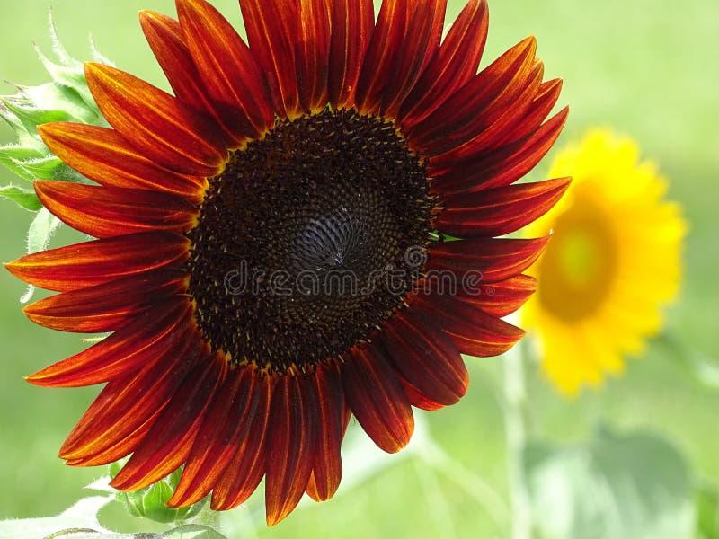带红色向日葵 库存图片