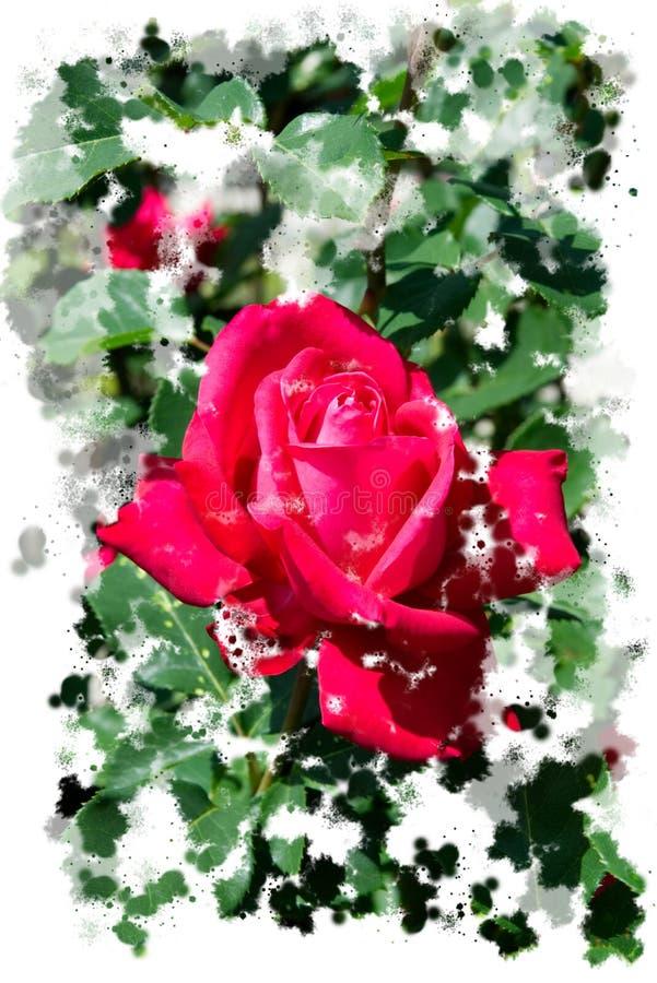 带红色桃红色玫瑰开花-庭院花开花在夏天的,水彩飞溅构筑 图库摄影