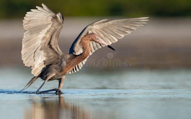 带红色白鹭在佛罗里达 免版税库存照片
