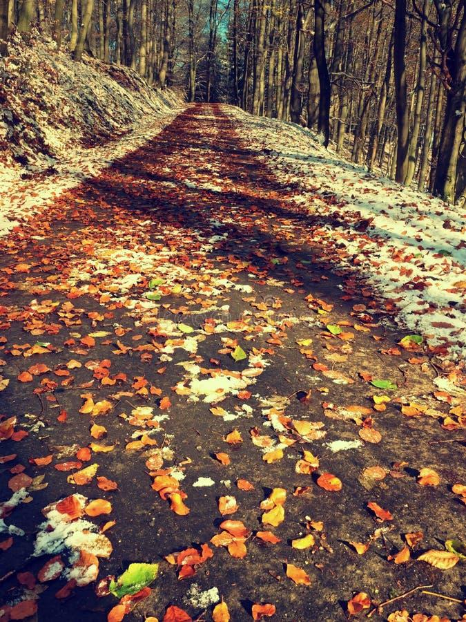 带领在早期的冬天森林新鲜的粉末雪的山毛榉树中的斯诺伊道路 库存图片
