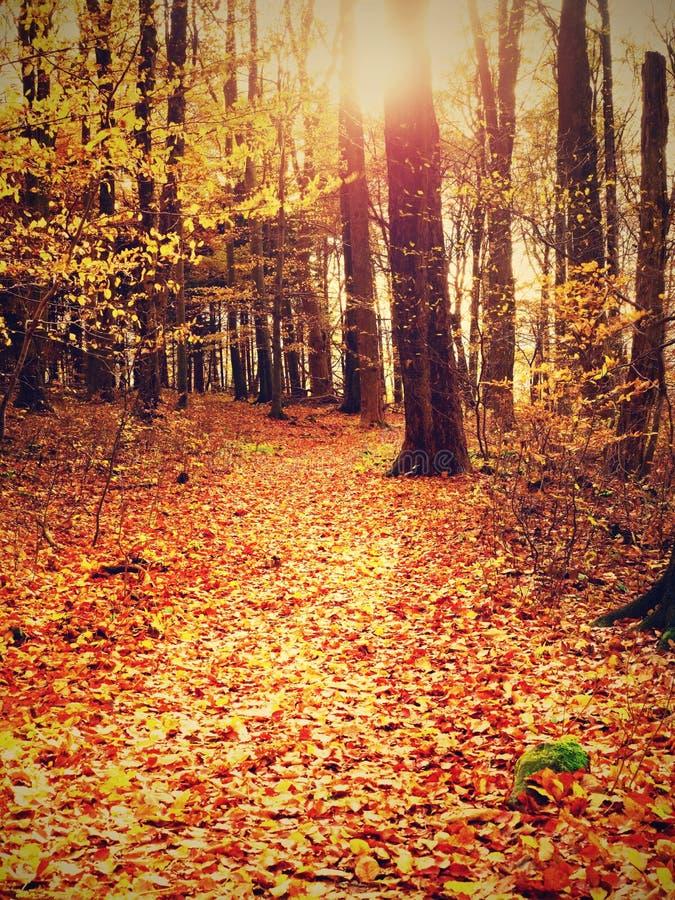 带领在早期的秋天森林新颜色的山毛榉树中的道路 库存图片