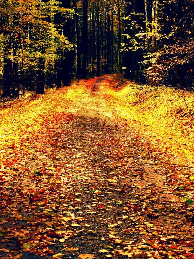 带领在早期的秋天森林新颜色的山毛榉树中的道路 免版税库存图片