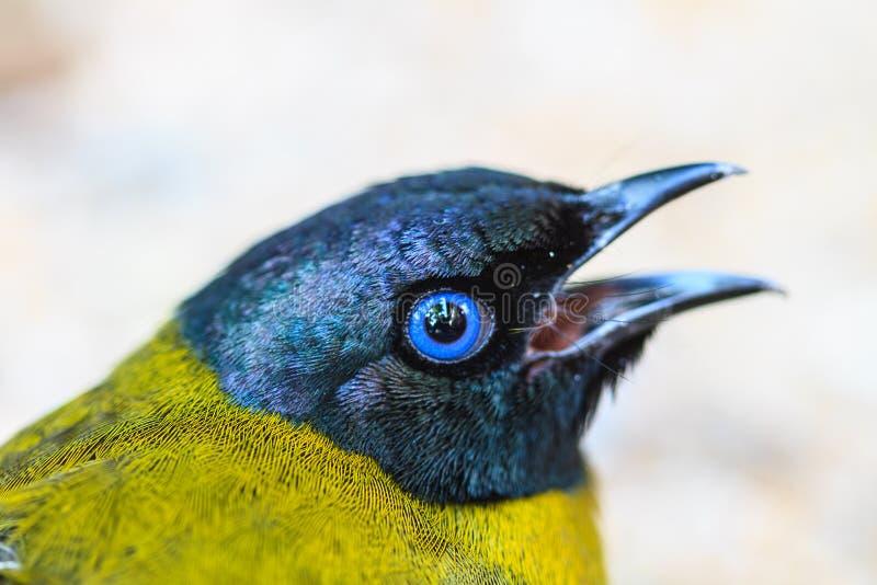 黑带头的歌手, Pycnonotus atriceps 免版税库存照片