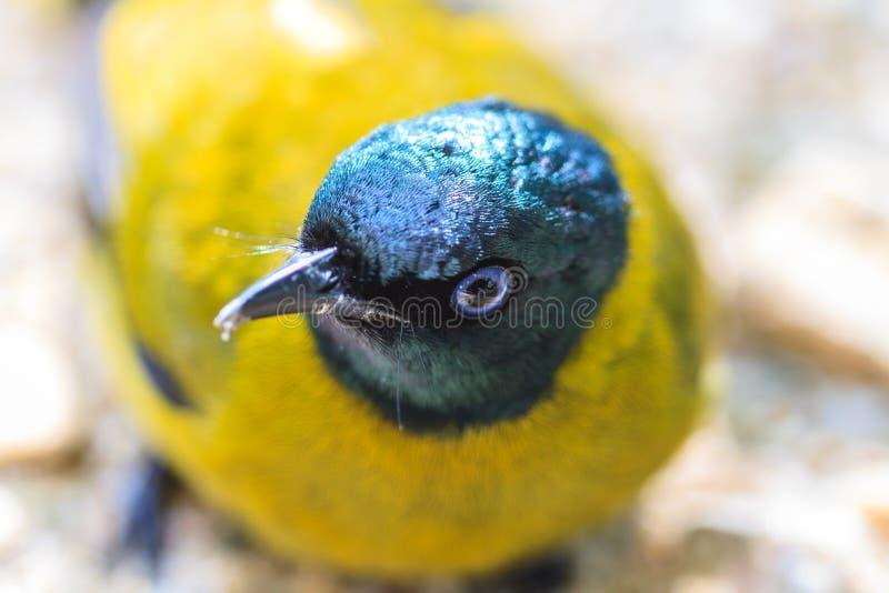 黑带头的歌手, Pycnonotus atriceps 库存图片