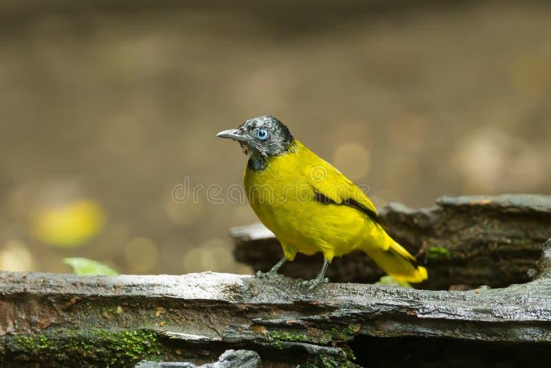 黑带头的歌手(Pycnonotus atriceps) 免版税库存图片