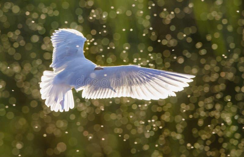 黑带头的鸥(鸥属ridibundus)在飞行中反对在日落背景的阳光 免版税库存图片