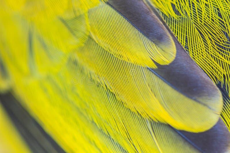 黑带头的Bulbu羽毛  库存照片