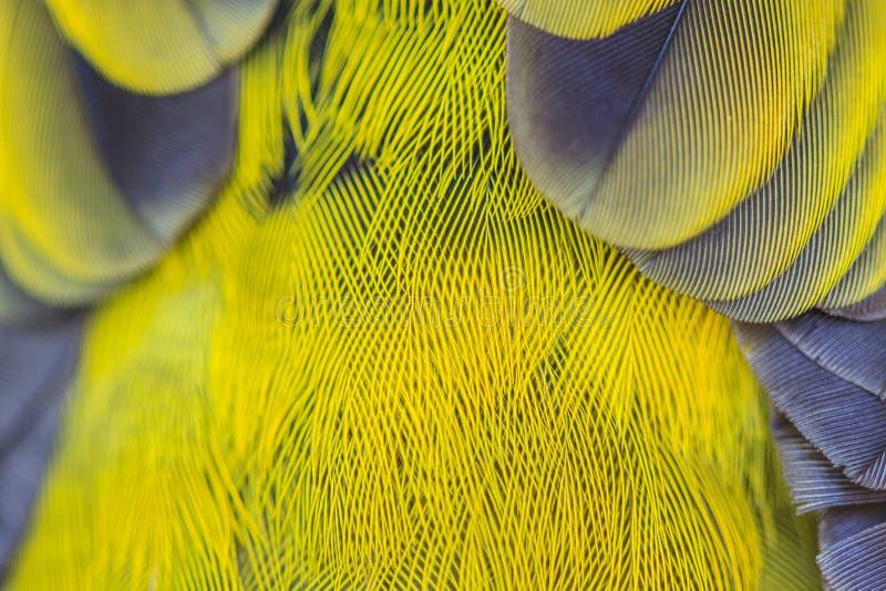 黑带头的Bulbu羽毛  免版税库存图片