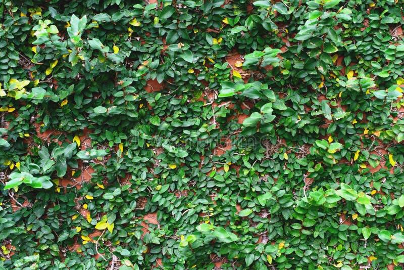 常春藤叶子覆盖物砖墙 免版税库存图片
