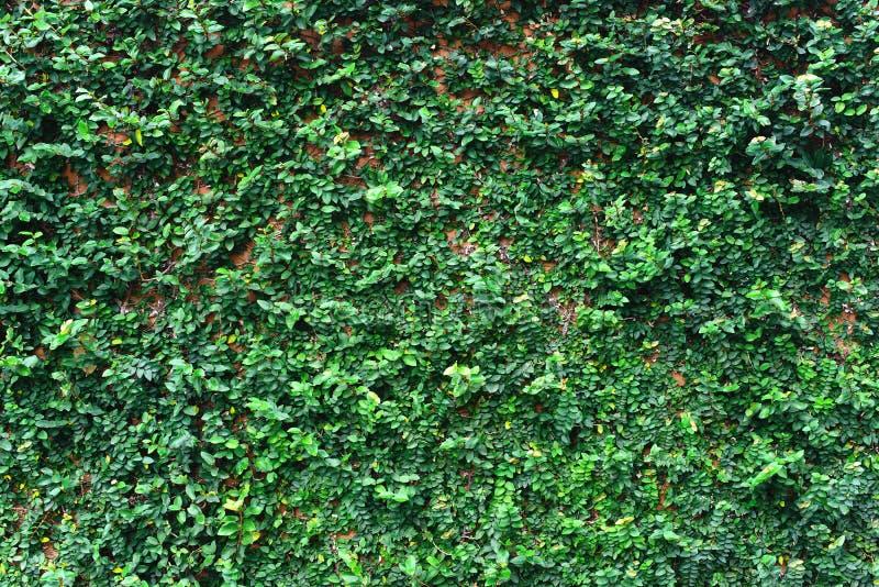常春藤叶子覆盖物砖墙 免版税库存照片