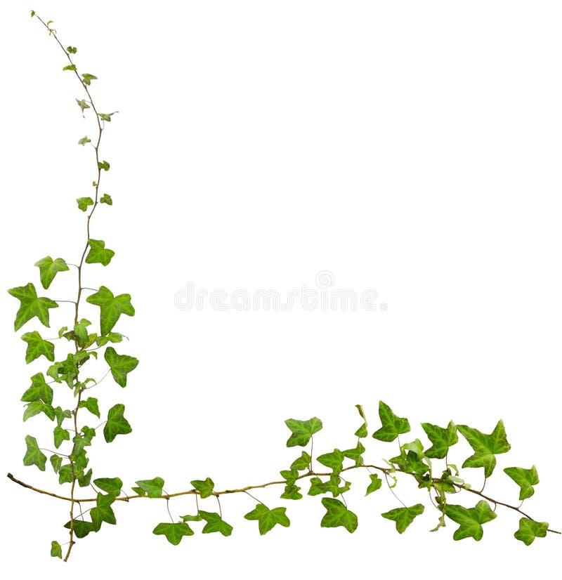 常春藤小树枝与在白色背景隔绝的绿色叶子的 免版税图库摄影