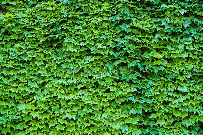 常春藤常春藤属 用叶子盖的墙壁 背景绿色自然 免版税图库摄影