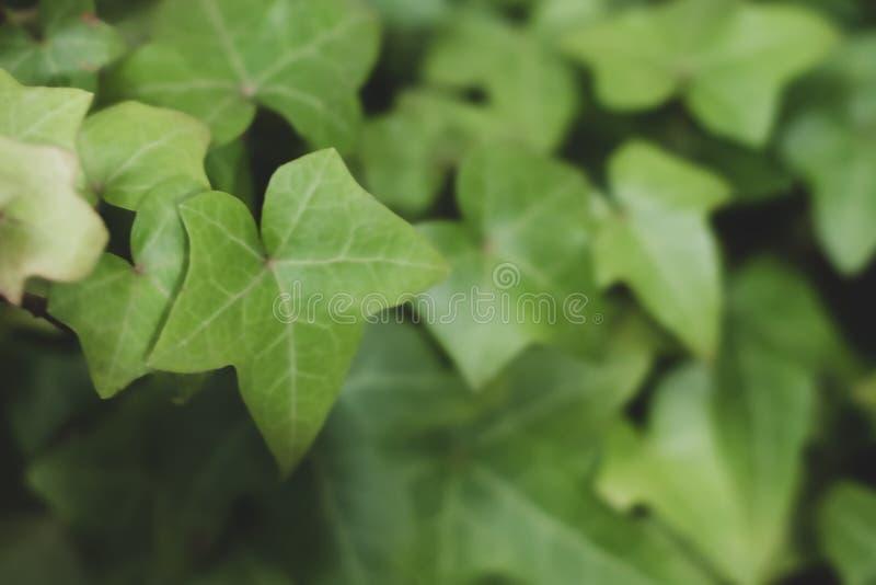 常春藤或常春藤属植物有用作为背景 免版税图库摄影