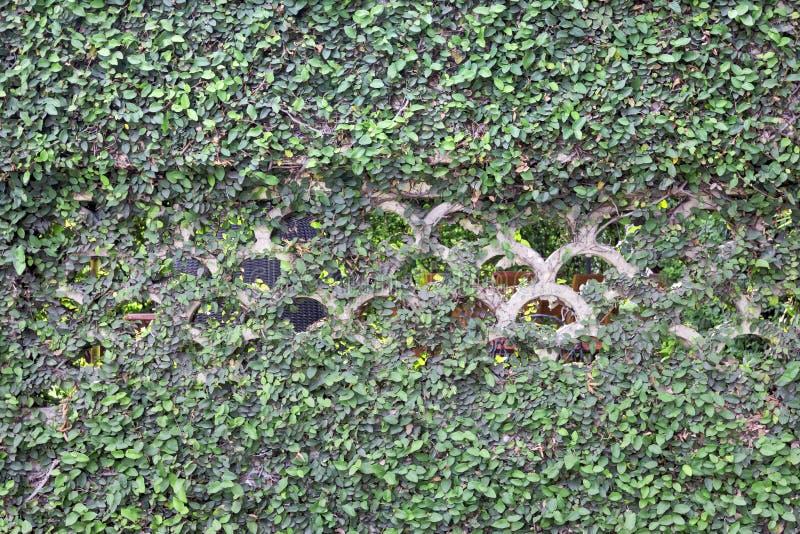 常春藤有墙壁纹理背景 免版税库存照片