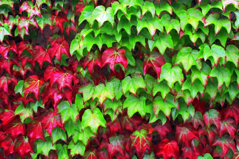 常春藤植物在秋天 库存图片