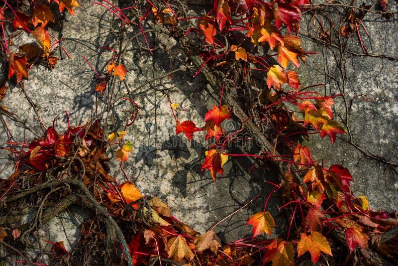 常春藤橙色叶子在墙壁上的 免版税库存照片