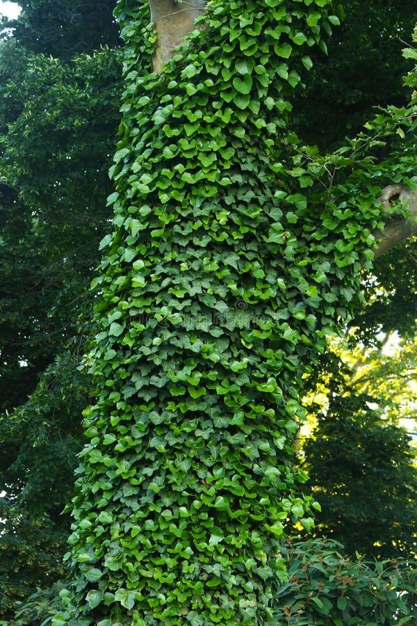 常春藤用阳光盖树 图库摄影