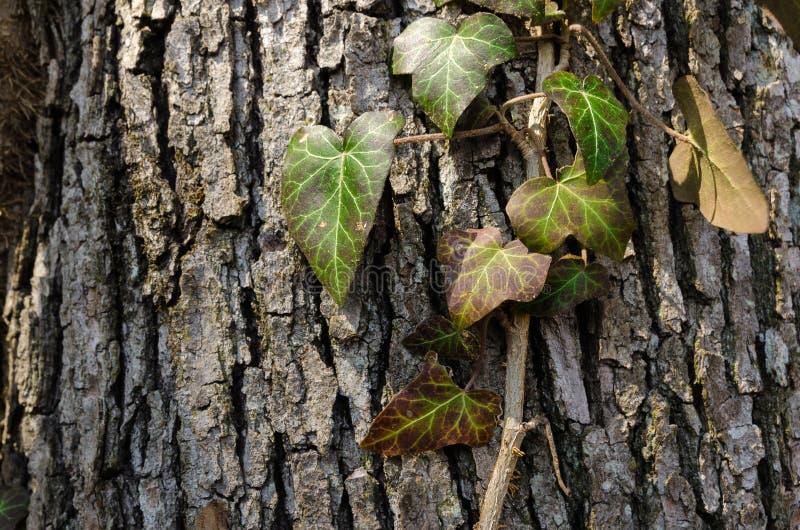 常春藤由阳光,在粗砺的吠声隔绝的野生毒葛藤点燃了,上升在老橡树在落叶阔叶烟草的森林里 库存照片
