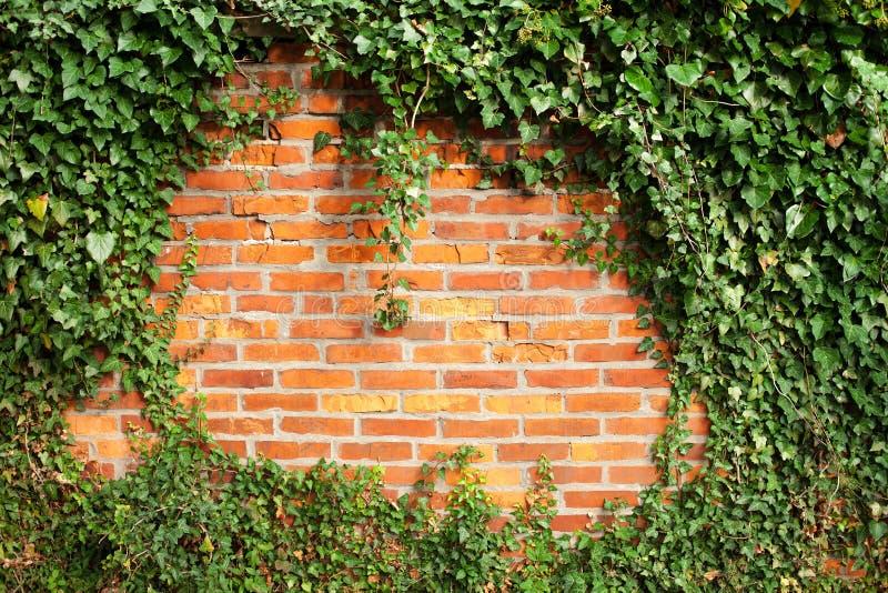 常春藤盖的砖墙 免版税库存照片
