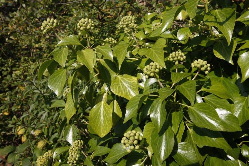 常春藤莓果,常春藤属螺旋 免版税库存照片